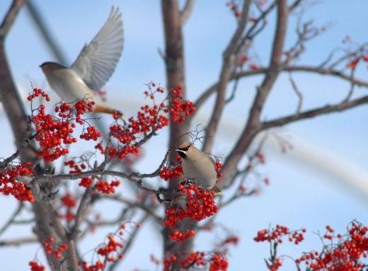 北海道の野生動植物写真-キレンジャク