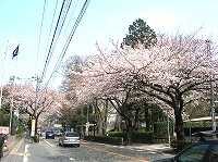 見事な桜並木