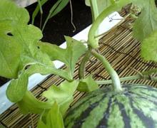 8月16日収穫1