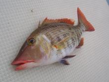沖縄から遊漁船「アユナ丸」-釣果(H21.01.23)