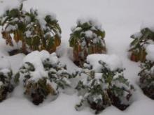 芽キャベツとブロッコリ