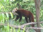 レッサーパンダもやる気ない。