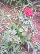 復活ミニ薔薇