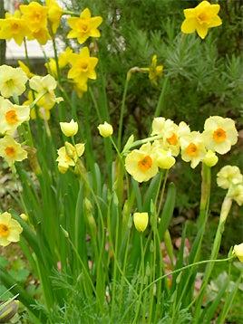 黄色い水仙たち