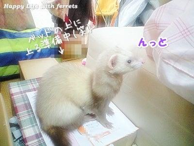 はっぴーらいふ with ferrets-喪中にて⑬