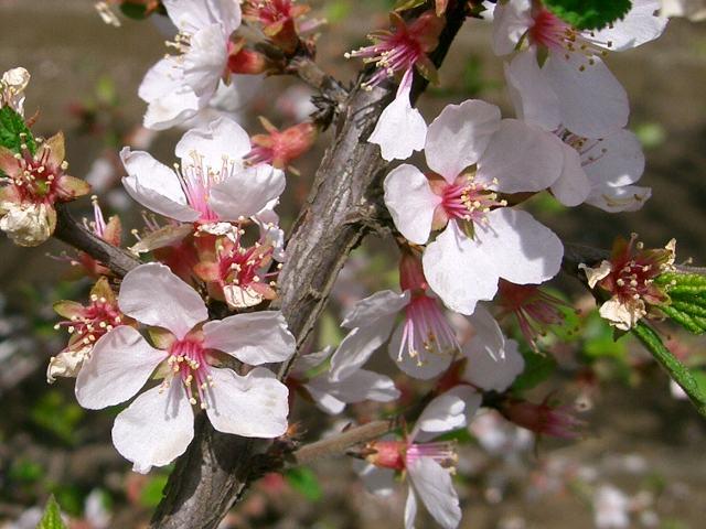 山桜桃(ユスラウメ) | 花の色...