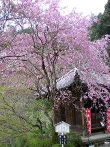 本堂裏のカサカサ桜