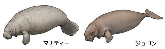 川崎悟司 オフィシャルブログ 古世界の住人 Powered by Ameba-ジュゴンとマナティー
