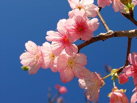 ケロケロの散歩道-桜