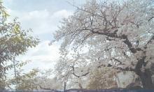 14_桜風景トーンカーブCMYK補正済