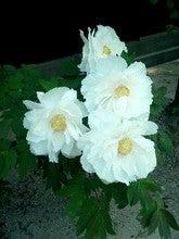 薬師寺の花2