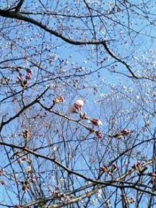 0325リコーダー部/桜も咲き始めました