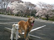 本当に綺麗な桜だね~~~