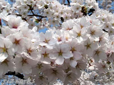 ぎっしり桜