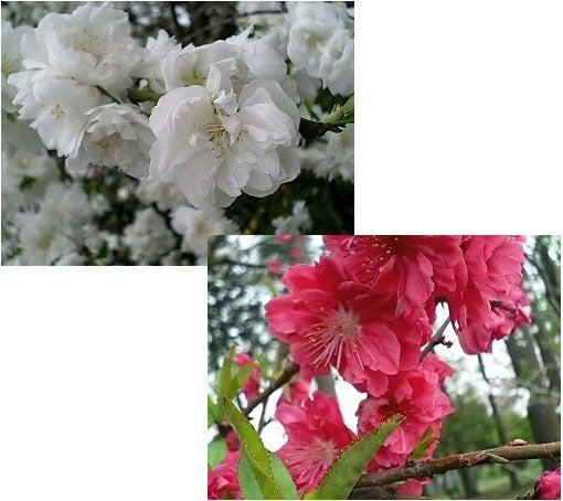 紅白のお花