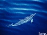 イルカ水面
