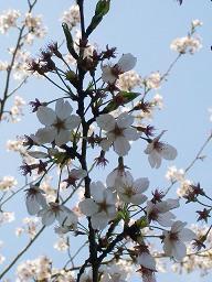 実家の桜2