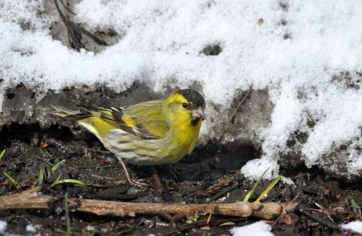 北海道の野生動植物写真-マヒワ