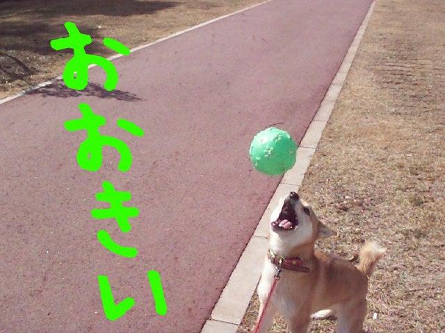 柴犬「なつ」 写真館 動画館-柴犬なつ