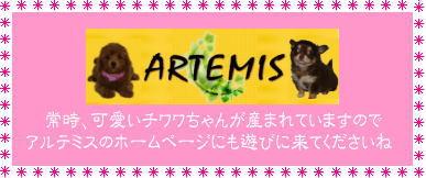 チワワ&トイプードルの仔犬情報/ARTEMIS