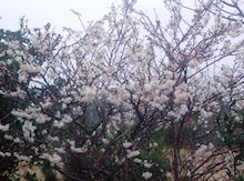 老人とブログの海-桜
