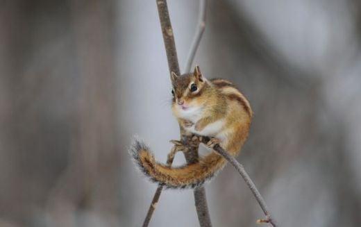 北海道の野生動植物写真-エゾシマリス