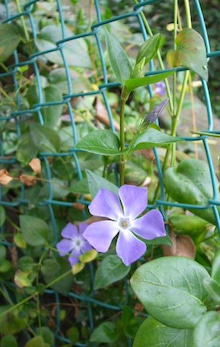 ビンボー暇なし節約したいなー-フェンスに絡んで咲く紫色の花