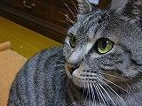 キジトラ猫のクロ