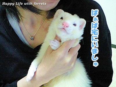 はっぴーらいふ with ferrets-い…生きています。②