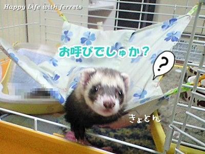 はっぴーらいふ with ferrets-い…生きています。⑤