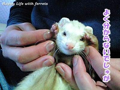 はっぴーらいふ with ferrets-い…生きています。③