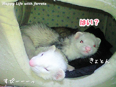 はっぴーらいふ with ferrets-い…生きています。⑨