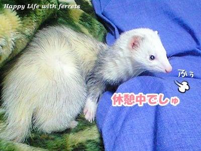はっぴーらいふ with ferrets-い…生きています。⑦
