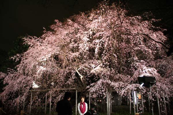 カルマンギアのある生活-六義園の枝垂れ桜