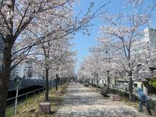 """山岡キャスバルの""""偽オフィシャルブログ""""「サイド4の侵攻」-高知市堀川の桜 3"""