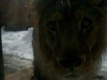 ミッキーのblog-ライオン