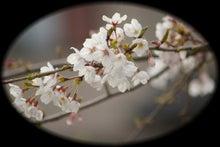 毎日はっぴぃ気分☆-桜・2