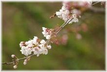 毎日はっぴぃ気分☆-桜・1