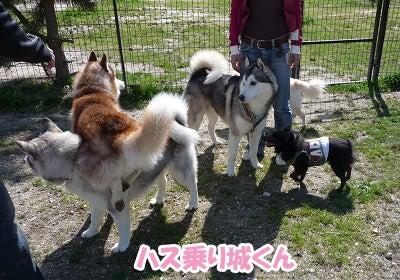 ☆ハスキー犬セリカと黒柴こころの女王対決☆