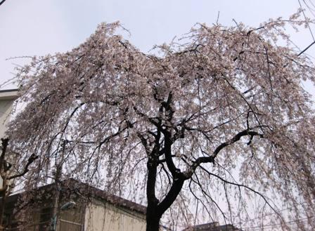 TheoBlog     -テオブログ--しだれ桜