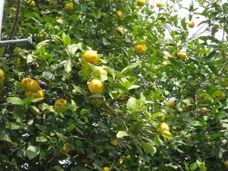 TheoBlog     -テオブログ--レモン