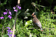 T/Hの野鳥写真 -ヒレンジャク