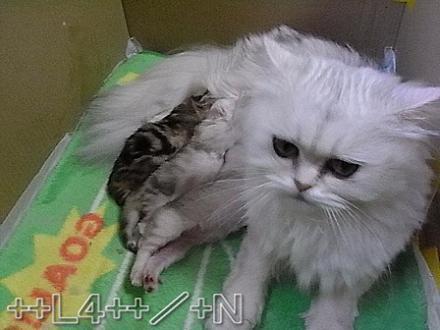 ++ L4 ++  ~ チンチラ猫レオンのヤンチャな毎日 ~-20090404C