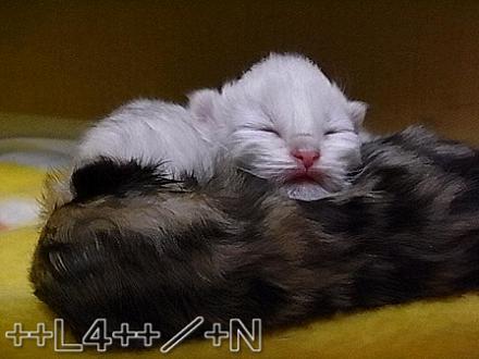 ++ L4 ++  ~ チンチラ猫レオンのヤンチャな毎日 ~-20090404B