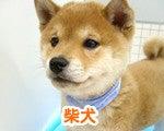 福生・青梅・東大和のペットショップ chouchou 仔犬・仔猫の在舎情報-柴犬