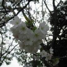 近所で花見