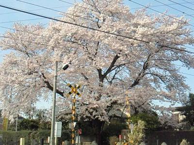 七里・大和田 地域探訪ブログ-七里_さくら