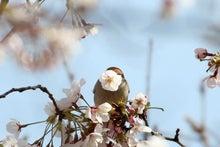 T/Hの野鳥写真 -ニュウナイスズメ