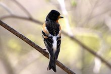 T/Hの野鳥写真 -アトリ