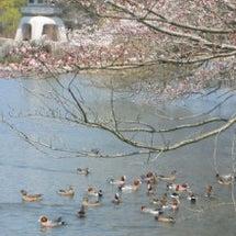 桜の名所 三島池のか…
